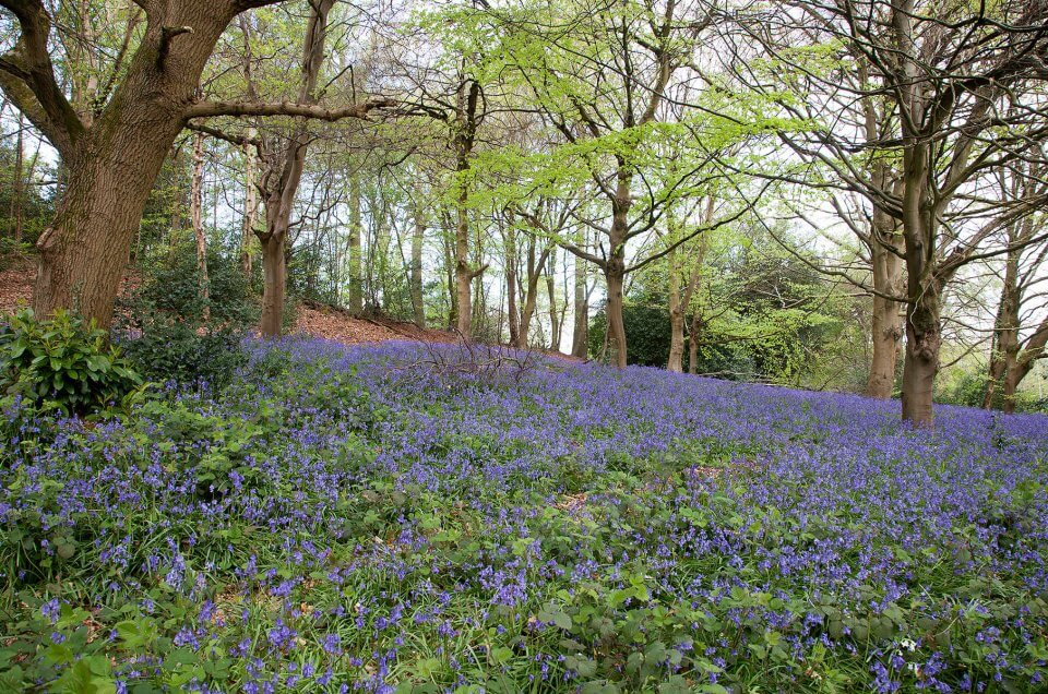 Bluebells at Bill Hill in Bracknell